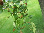 Ash Anthracnose